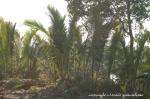 glossary-nipah-palm
