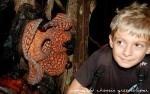 rafflesia-in-ulu-geroh