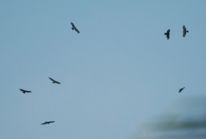 rww-raptors